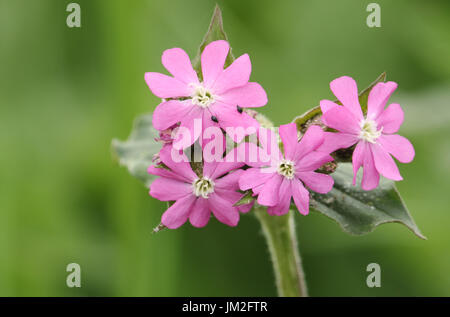 Pretty Red Campion (Silene dioica) flowers. - Stock Photo