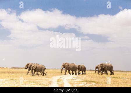 Herd of wild elephants in Amboseli National Park, Kenya. - Stock Photo