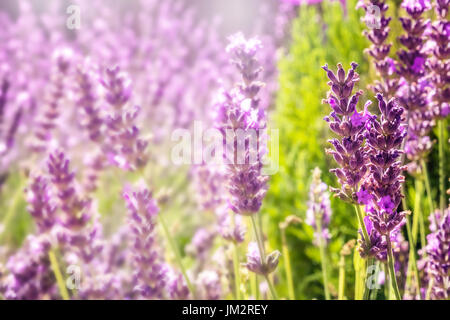 Blooming lavender flowers on blurred background with copy space - Stock Photo