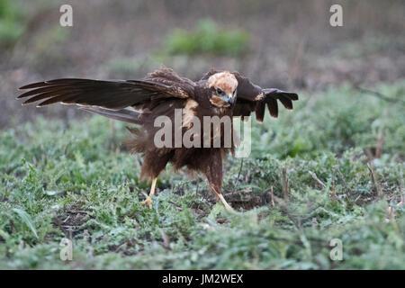 Western Marsh Harrier Circus aeruginosus female Spain winter - Stock Photo