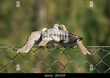 Eurasian Collared Dove Streptopelia decaocto adult regurgitating to young Fuertuventura Canary Islands - Stock Photo