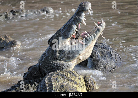 Nile Crocodiles (Crocodylus niloticus) eating, Grumeti river, Serengeti National Park, Tanzania. - Stock Photo