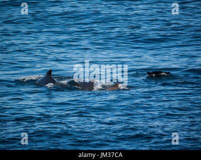 Pod long finned Pilot Whales (Globicephala melas)  Bleik Canyon Norwegian sea off Norway's North coast popular feeding - Stock Photo