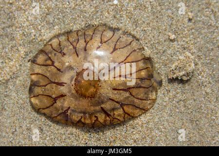compass jellyfish on sand - Stock Photo