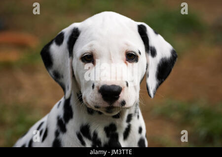 portrait of dalmatian puppy 8 weeks old - Stock Photo