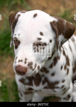 headshot of a liver colored dalmatian puppy - Stock Photo