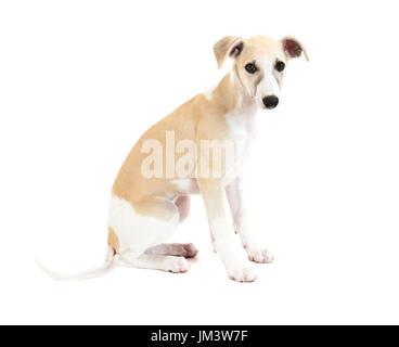 Cute Whippet puppy dog sitting isolated on white background - Stock Photo