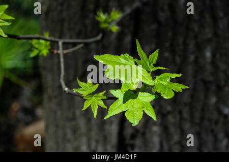 Leaves of the American Sweetgum tree at Oleno State Park in North Central Florida. - Stock Photo