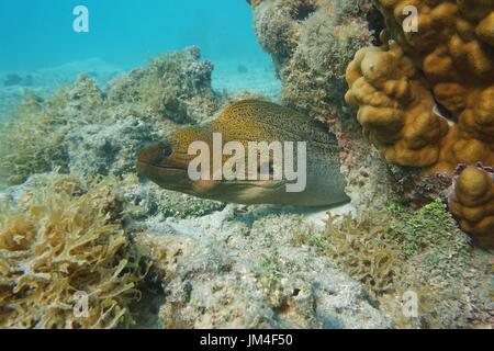 A giant moray eel, Gymnothorax javanicus, underwater in the lagoon of Bora Bora, Pacific ocean, French Polynesia - Stock Photo