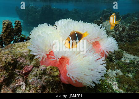 Sea anemone Heteractis magnifica with fish orange-fin anemonefish, Amphiprion chrysopterus, underwater in the Pacific - Stock Photo