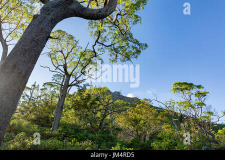A dramatic tree curls up towards the peak of Mount Egon in the early morning on Flores, Indonesia. - Stock Photo