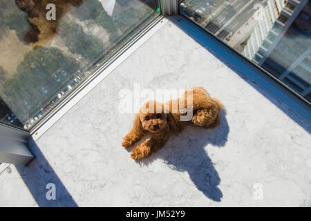 Red toy poodle puppy lies on floor against window. View from high rise window. - Stock Photo