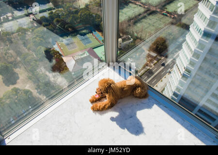 Red toy poodle puppy lies on floor against window. Looking sideways. View from high rise window. - Stock Photo