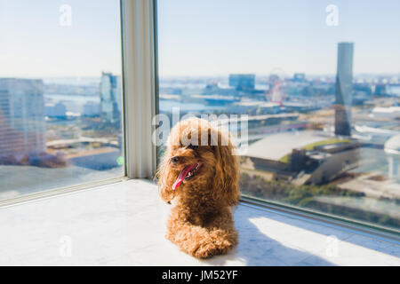 Toy poodle lies on floor against the window. - Stock Photo