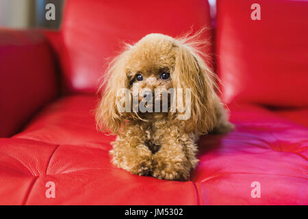 Toy poodle lies on the red couch - Stock Photo