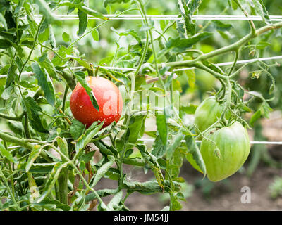 bushes with tomato fruits on ropes in garden in summer season in Krasnodar region of Russia - Stock Photo