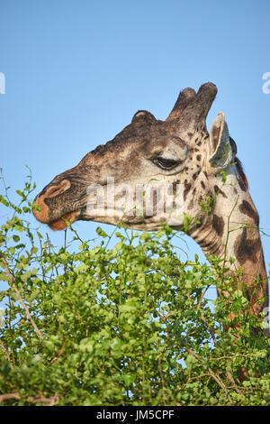 Adule male Masai giraffe (Giraffa tippelskirchi) eating leaves from a treetop tree top. Copy space. - Stock Photo