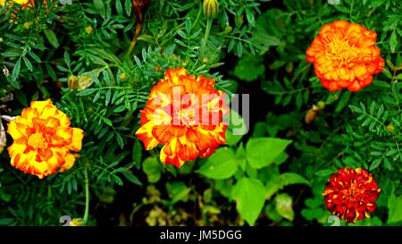 Orange and yellow Tagetes flowers (marigold) with green leafs in garden. - Stock Photo