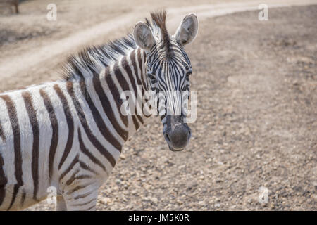 Chapman's Zebra (Equus quagga chapmani) - Stock Photo