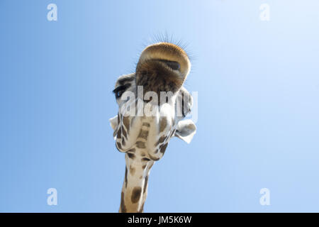 Portrait of a Giraffe (Giraffa camelopardalis) on blue sky background - Stock Photo