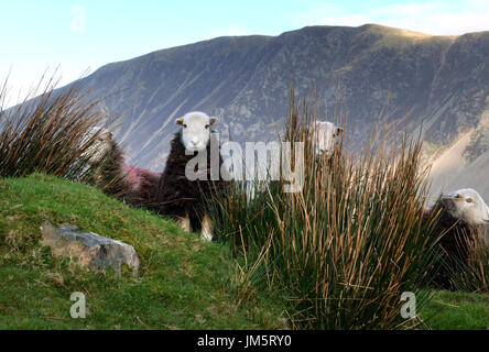 Herdwick sheep in the English Lake District, Wasdale, Cumbria - Stock Photo