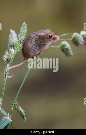 A single harvest mouse climbing up grass in an upright vertical format - Stock Photo