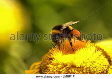 Eine dunkle Erdhummel, Bombus terrestris sammelt Pollen / Nektar auf der gelben Bluete einer Staude - Grosse Telekie - Stock Photo