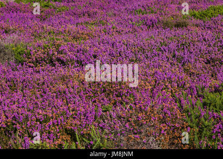 Sunny Summer Afternoon on Dunwich Cliffs with Heather in Full Colour - Stock Photo