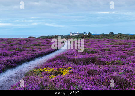 Just Before Sunrise on Dunwich Cliffs with Heather in Bloom and Coastguard Cottages in Distance - Stock Photo