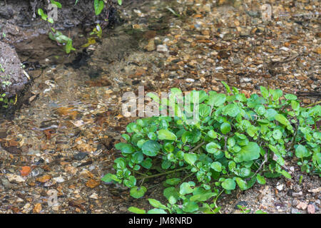 Small patch of wild Watercress / Nasturtium officinale growing wild beside a freshwater stream. Concept water source, - Stock Photo