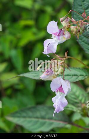 Pink flowers of Himalayan Balsam (Impatiens glandulifera) - a weedy menace to waterways, rivers and streams. - Stock Photo