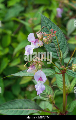 Pink flowers of Himalayan Balsam / Impatiens glandulifera - a weedy menace to waterways, rivers and streams. Troublesome invasive weed. Stock Photo