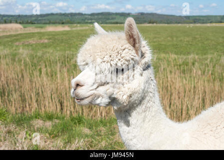 Head and neck of a White Alpaca - Stock Photo