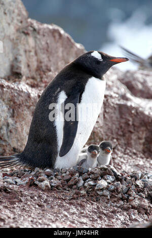 Gentoo Penguin (Pygoscelis papua) mother and her two curious babies at their nest - Stock Photo
