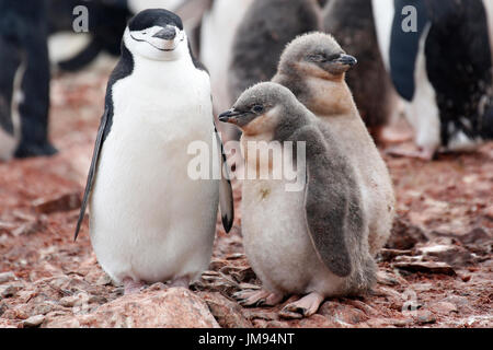 Chinstrap Penguin (Pygoscelis antarcticus) mother and babies (chicks) on the beach - Stock Photo