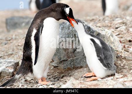 Gentoo Penguin (Pygoscelis papua) mother feeding her baby - Stock Photo
