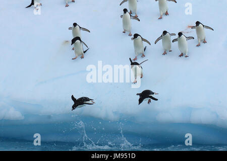 Adélie Penguins (Pygoscelis adeliae) repeatedly jumping onto the iceberg and jumping into the water - Stock Photo