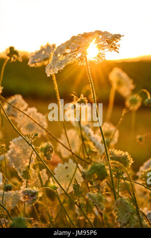Queen Anne's lace in golden sunset - Stock Photo