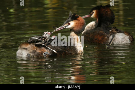 A parent Great Crested Grebe (Podiceps cristatus) feeding a feather to one of its cute babies on its back, as it - Stock Photo