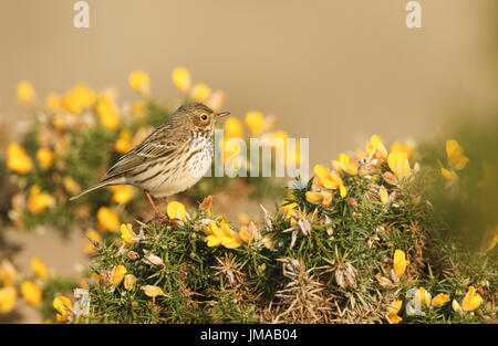 A stunning Meadow Pipit (Anthus pratensis) perched on a flowering gorse bush. - Stock Photo