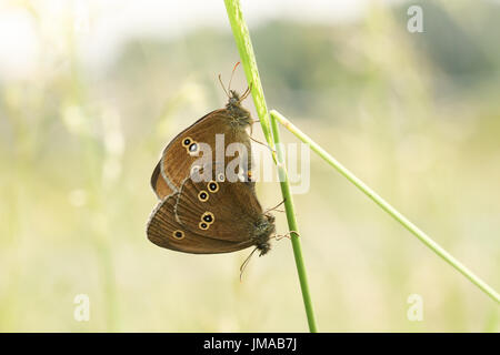 A mating pair of Ringlet Butterfly (Aphantopus hyperantus) perched on a grass stem. - Stock Photo