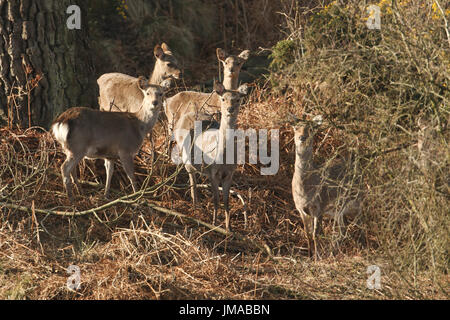A group of wild Sika deer (Cervus nippon) feeding in a wooded area. - Stock Photo