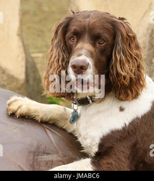 An English Springer Spaniel Dog (Canis lupus familiaris) with its paws up on a giant metal egg with a cute expression - Stock Photo