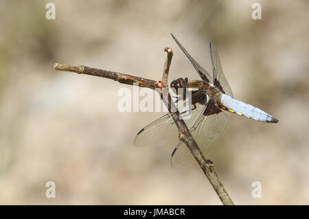 A stunning male Broad-bodied Chaser Dragonfly (Libellula depressa) perched on a twig. - Stock Photo