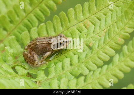A cute baby Common Frog (Rana temporaria) sitting on a fern leaf. - Stock Photo