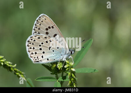 Close-up of large blue butterfly (Maculinea arion or Phengaris arion) in the French Alps - Stock Photo