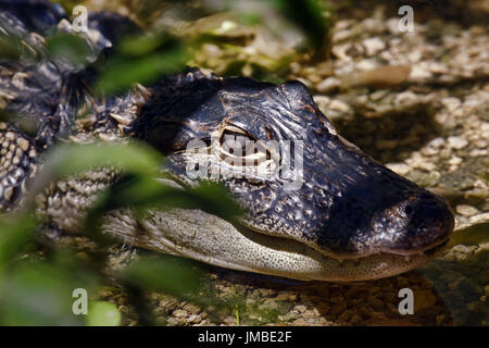 Young spectacled caiman - Caiman crocodilus - Stock Photo