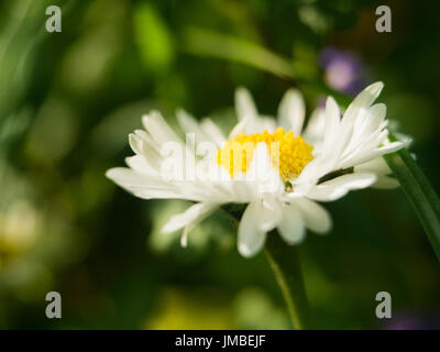 A camomile daisy flower on a green background. One field daisy in the field of gerbera or daisy - Stock Photo