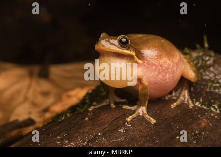 Male Squirrel tree frogs (Hyla squirella) loudly calling to attract a female on a rainy night in a flooded woodland. - Stock Photo