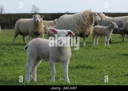 pet lamb and ewes - Stock Photo